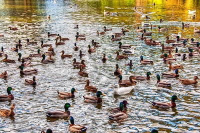 ducks-pond