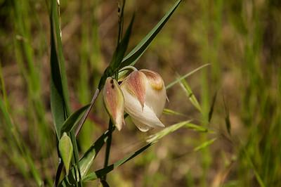 White Globe Lily (White Fairy Lantern)  - Calochortus albus