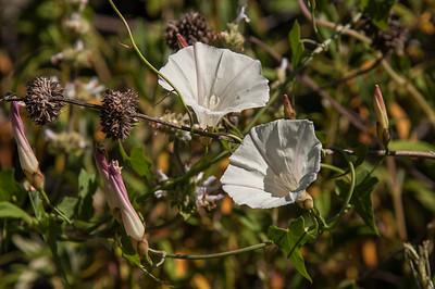Bindweed (AKA Field Binweed) - Convolvulus arvensis