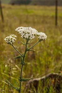 Yarrow (Achellia millefolium - Achellia lanulosa)