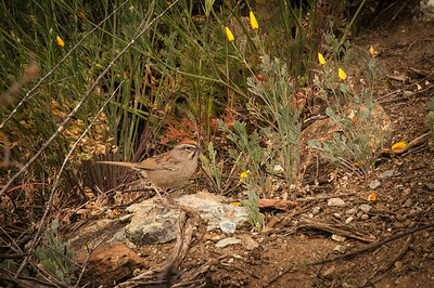 Rufous-crowned Sparrow (Aimophila ruficeps)