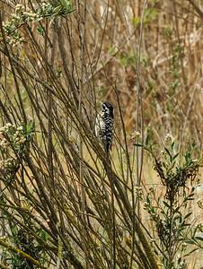 Nuttail's Woodpecker (Picoides nuttallii)