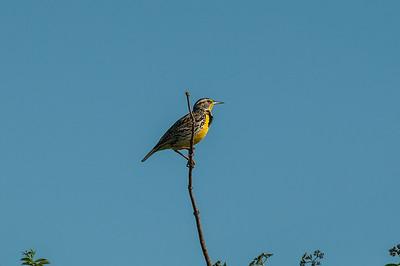 Western Meadowlark (Stumella neglecta)