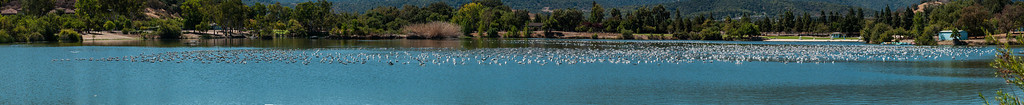 There must have been a Seagull Convention at the Almaden Lake on this day!