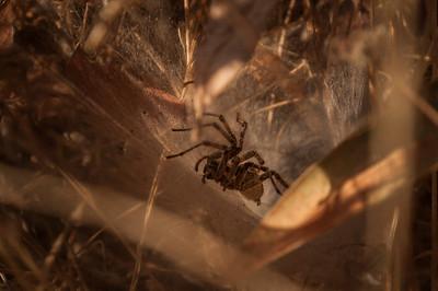 Funnel-Web Spider (Agelenidae)
