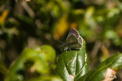 I believe this is some kind of a Hairstreak butterfly. My closest guess is a Mountain Mahogany Hairstreak (Satyrium tetra).