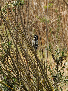 Downy Woodpecker Picoides pubascens)