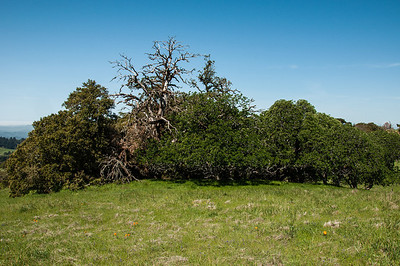 Ancient Oaks Trail 041213-0073