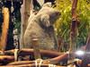 A koala photo for denali