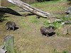 Are these the peccaries?
