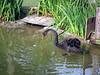 Graceful black swan