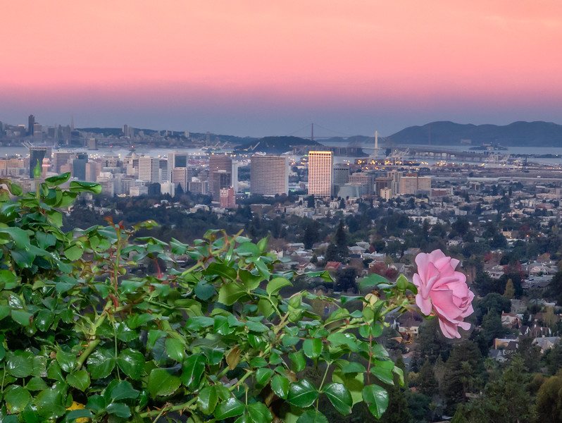Pink Rose, Downtown Oakland, Bay Bridge, Golden Gate Bridge, and San Francisco