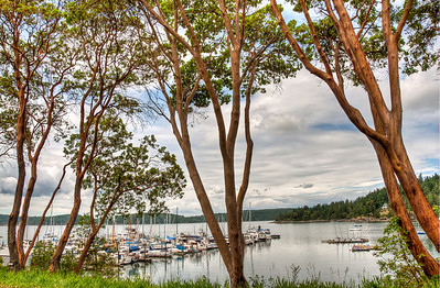 madrone-trees-westsound-harbor