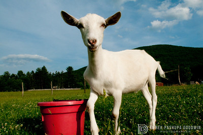 Emmet the goat with his red bucket at Woodstock Sanctuary