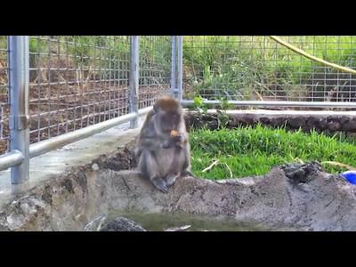 Relaxed monkey breakfast