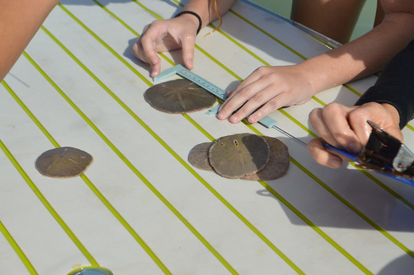 Sand Dollars with the Sanibel School