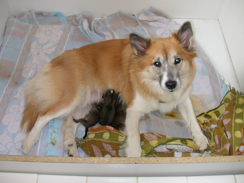 Frostfyre Runa and her first litter (<i>photo:  Stuart Marsh</i>) 2009