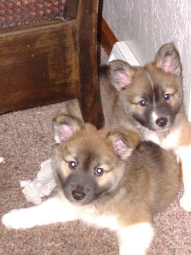 Frostfyre Runa (top right) and Frostfyre Roskur - 6 weeks old<i> (photo:  Susan Hartman)</i>