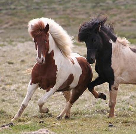 Katla frá Þorkelshóli 2 (with the stallion Garpur frá Hvoli)