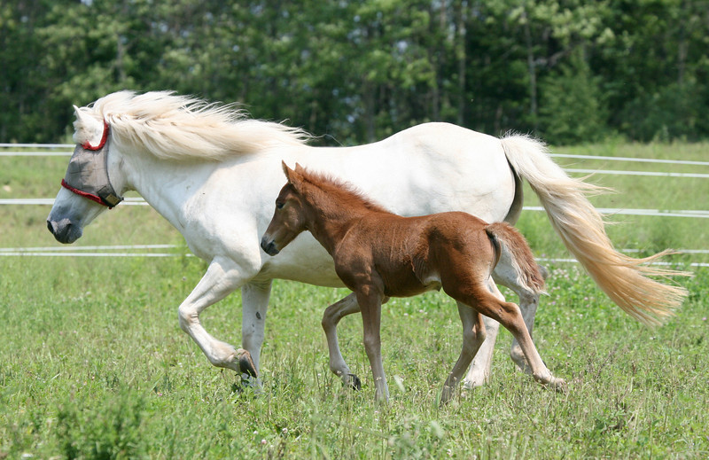 Summer 2008 – with her foal, Blær from Sand Meadow