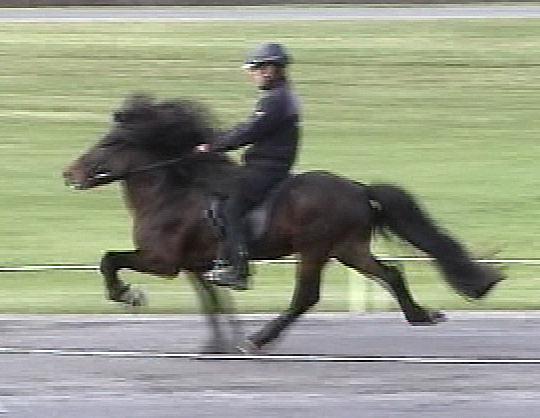 Fast Tolt (from video)<br>Ridden by Þórður Þórgeirsson<br>October, 2006