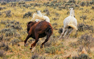 """Stallion Rounder Keeping His Mares Moving In The Direction He Wishes Them To Go- This is also known as """"Snaking"""""""