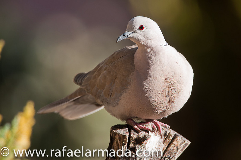 Collared Dove (Streptopelia decaocto).<br /> La Palma de Cervelló (Barcelona, Catalonia, Spain), August 2008.<br /> Esp: Tórtola turca<br /> Cat: Tòrtora turca