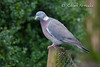 Woodpigeon (Columba palumbus).<br /> Slimbridge (Glos., England, UK), December 2006.<br /> Esp: Paloma torcaz<br /> Cat: Tudó