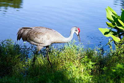 Sandhill Crane in Deltona, FL retention pond
