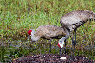 April 2014 - Sandhill crane nest built in middle of Deltona, Florida retention pond.