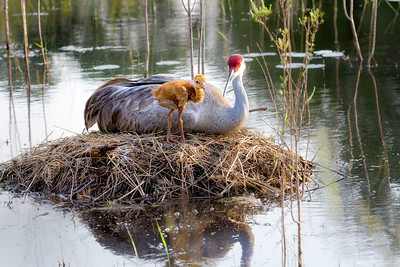 Sandhill Cranes on Nest