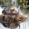 Sandhill Cranes on Nest