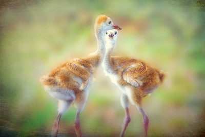 Sandhill Crane Colts with muddy beaks