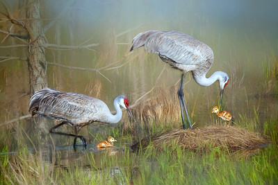 (SC66) Sandhill Cranes at nest