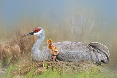 (SC69) Sandhill Cranes at the nest