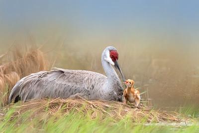 (SC60) Sandhill Cranes
