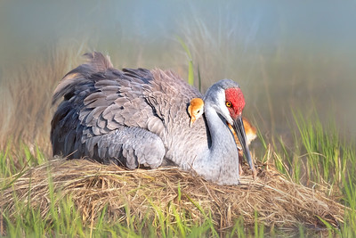 (SC72) Sandhill Cranes