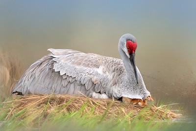 (SC50) Sandhill Cranes