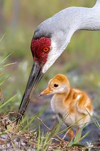 (SC80) Sandhill Cranes