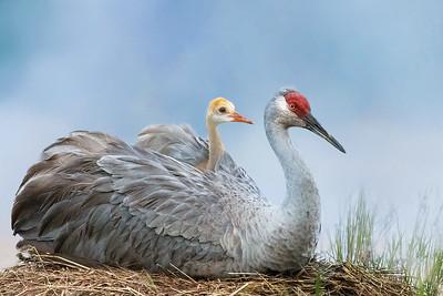 (SC77) Sandhill Cranes