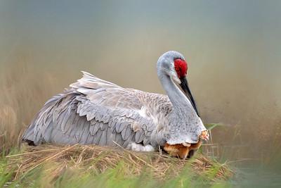 (SC59) Sandhill Cranes