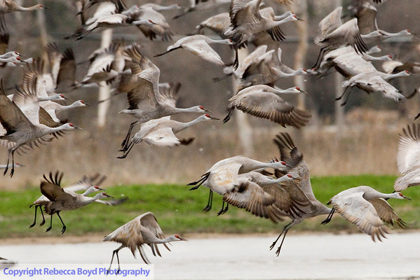 Sandhill cranes over the Platte River in Nebraska.