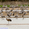 Sandhill cranes on the Platte River in Nebraska.