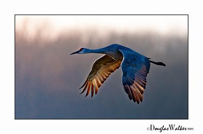 Sandhill Crane Jasper-Pulaski Indiana