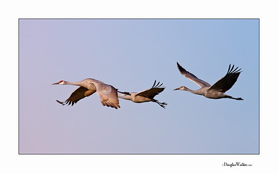 Sandhill Cranes Jasper-Pulaski Indiana