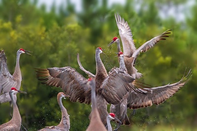 Sandhill Cranes sparring - Central Florida