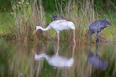 Leucistic Sandhill Crane