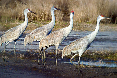 Sandhill Cranes at Mullet Lake Park in Geneva, Florida
