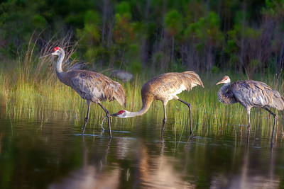 Sandhill Crane Family before sunset
