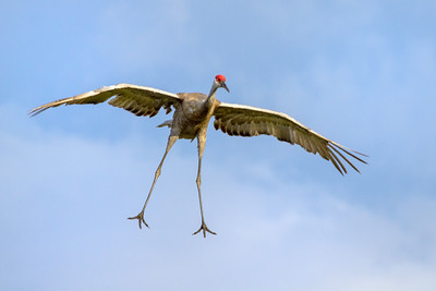 Sandhill Crane on landing approach